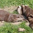 Otters at Durrell Wildlife Conservation Trust